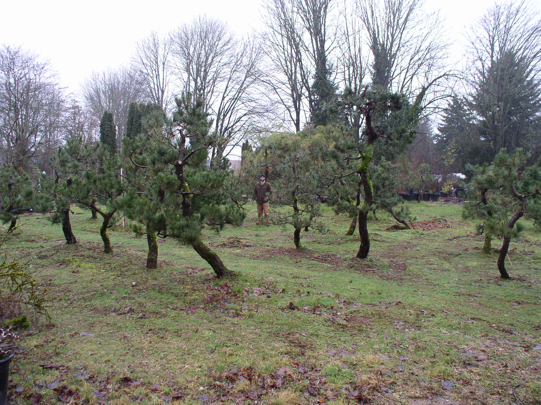 Specimen Anese Black Pines